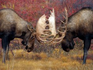Moose fighting with antlers
